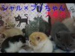 シャルトリュー×ブリティッシュショートヘア子猫たち大集合! 2019.9.7
