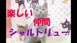楽しみなシャルトリュー子猫 2019.10.21
